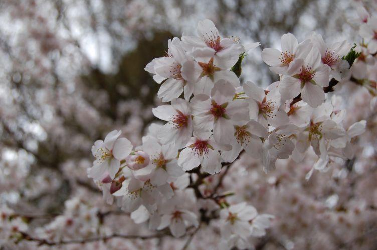 川村記念美術館の桜の花の写真