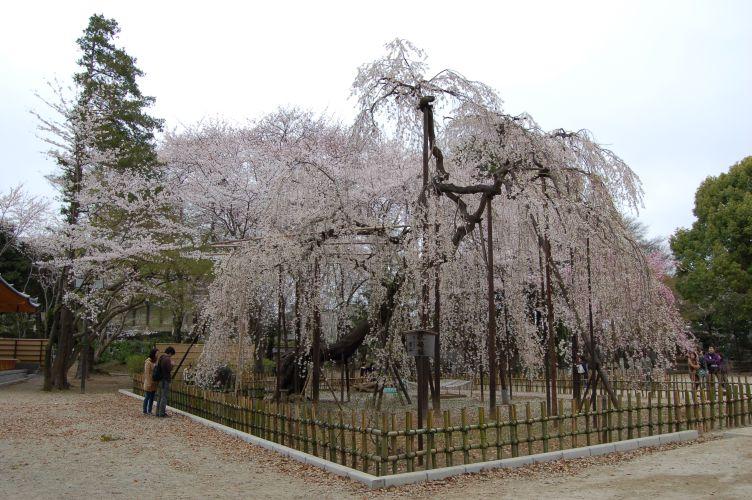 伏姫桜の写真