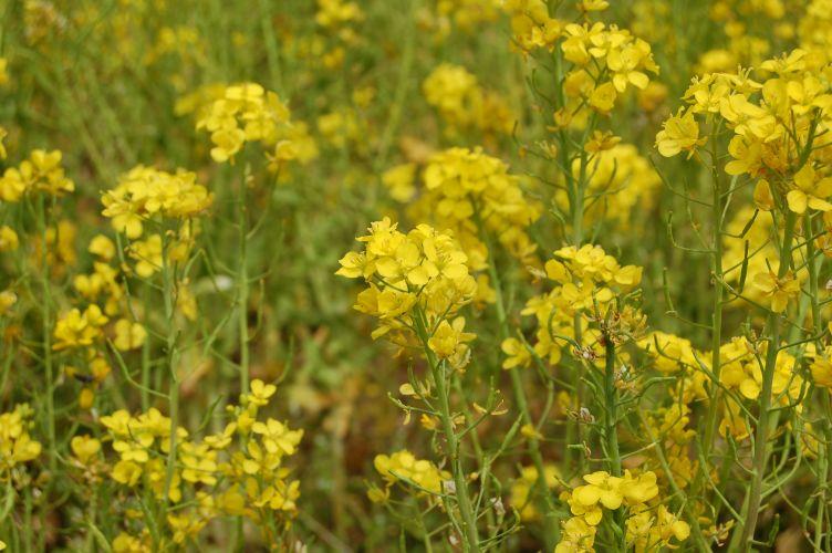 川村記念美術館の菜の花の写真