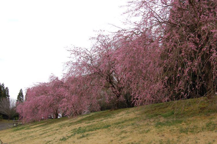 川村記念美術館のしだれ桜の写真