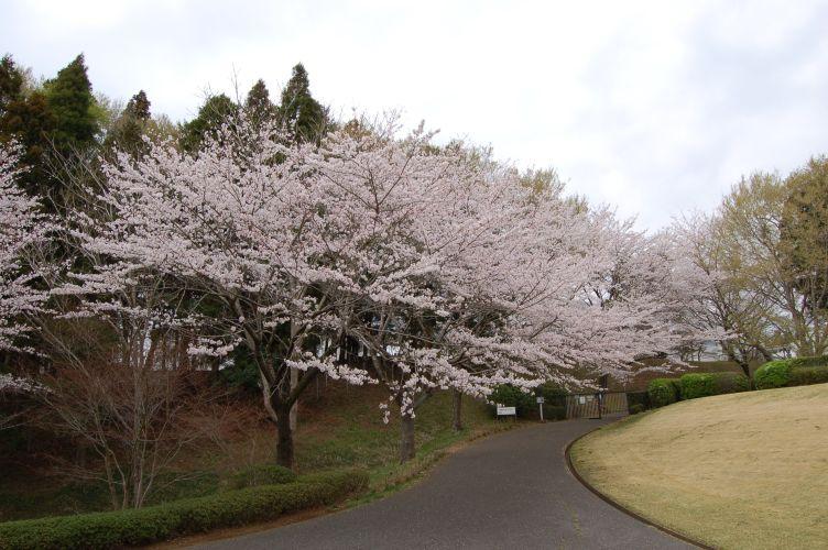 川村記念美術館のソメイヨシノの写真
