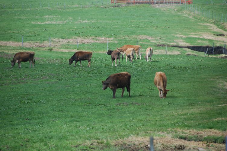 ジャージー牛の写真